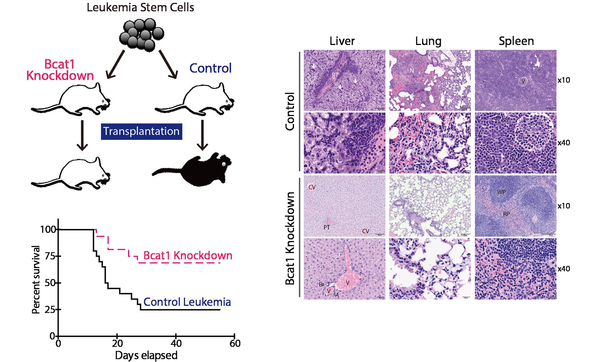 Cancer, stem cells and cancer stem cells